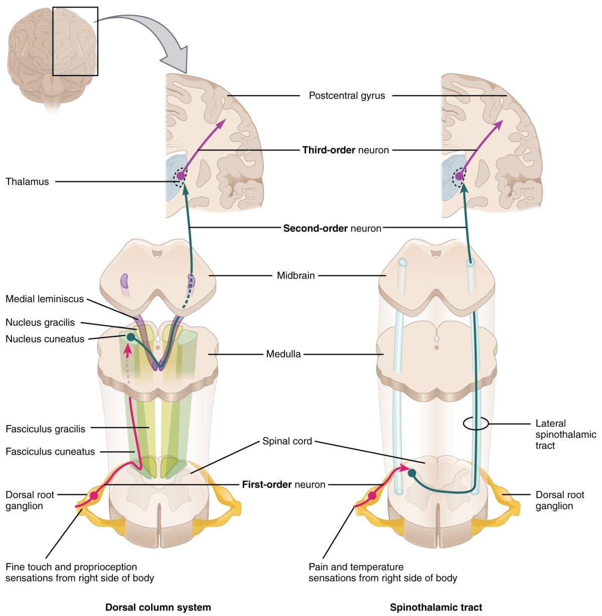 spine anatomy and pathology of disease spinal cord pain and sensory pathway