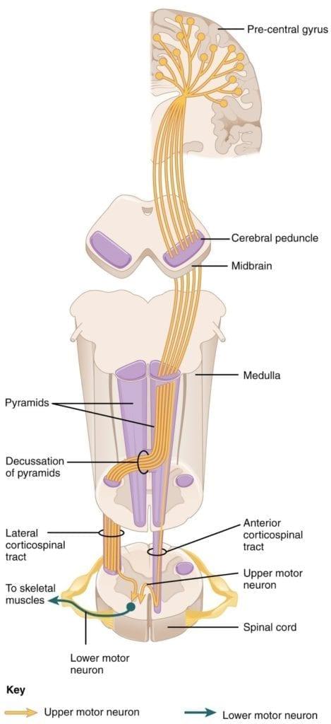 motor neuron disease motor corticospinal tract pathway diagram