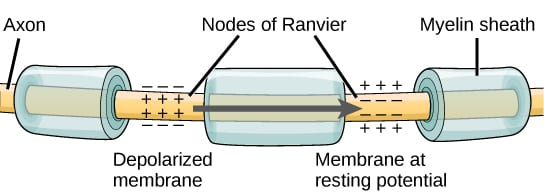 EMG and NCS action potential nodes of ranvier