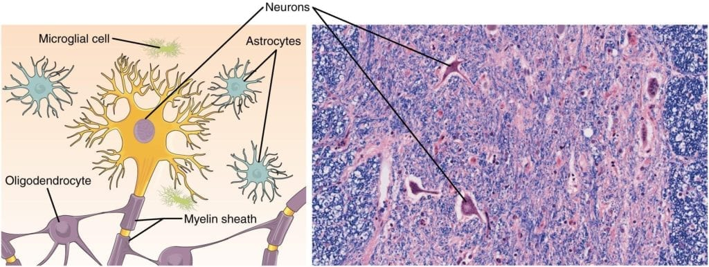 Illustration and microscope slide with H&E stain showing glial cells and neurons
