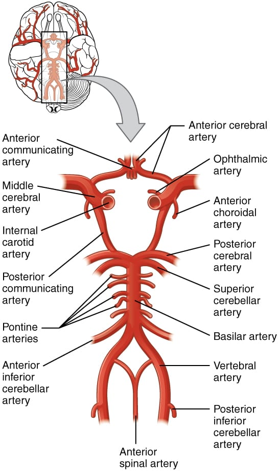 Diagram of the Cerebral Vascular System with the circle of willis