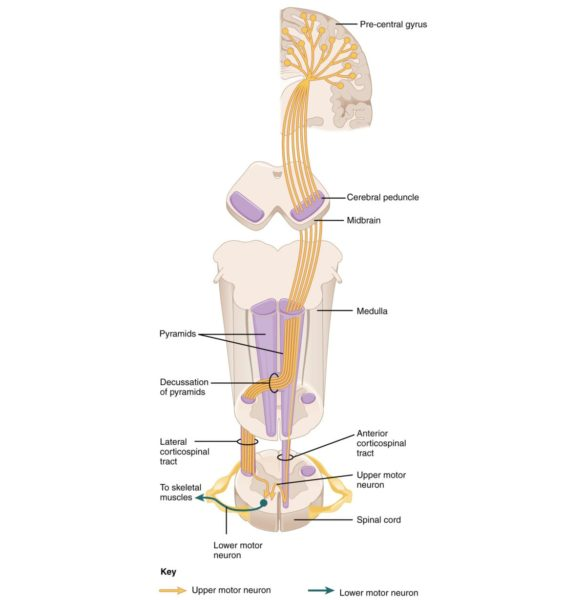 spine pathway anatomy pathology: corticospinal tract diagram