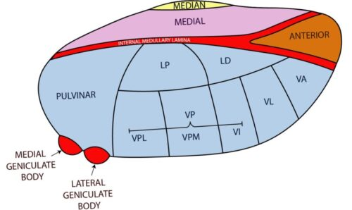 Diagram of Thalamus Anatomy with Nuclei | NOWYOUKNOWNEURO