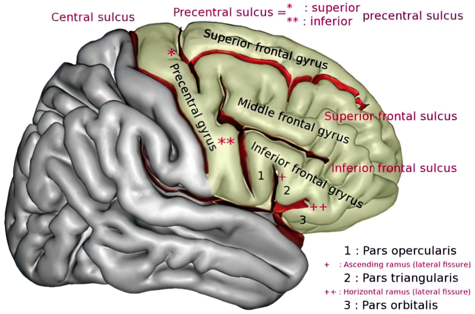 Diagram of The Frontal Lobe and Associated Gyri/sulci